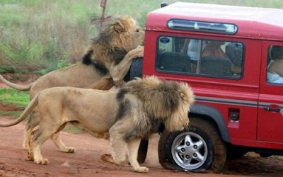 Funny+Lion+Photos
